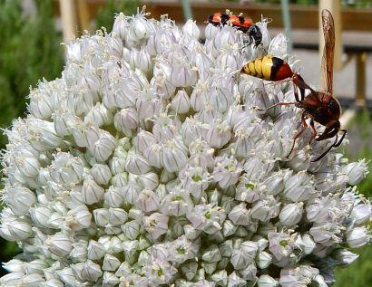 Insectes sur inflorescence
