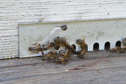 Abeilles devant leur ruche