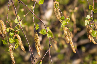 Pollen de bouleau