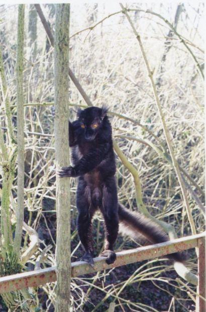 Lémur noir
