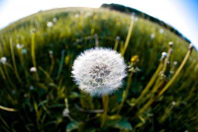 Fleur de pissenlit dans une prairie