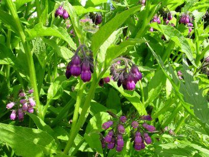 plantes comestibles