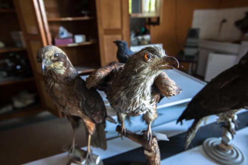 Des oiseaux empaillés