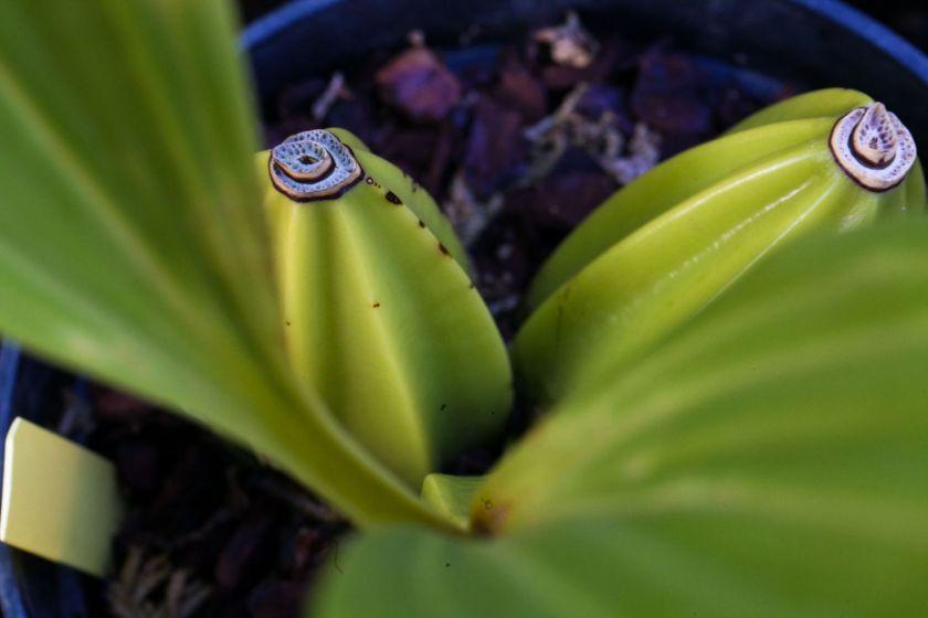 Pseudo-bulbes d'orchidées