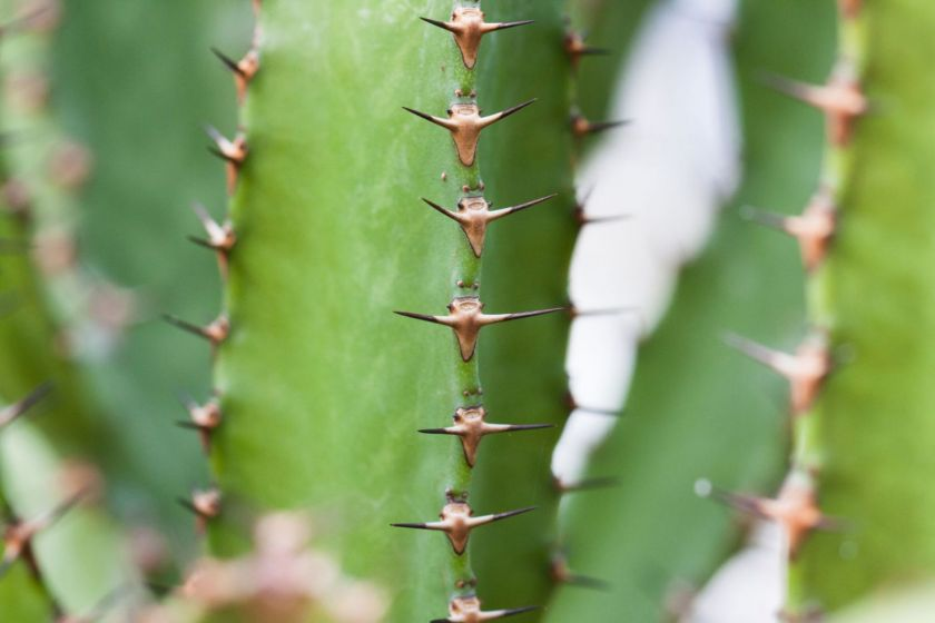Euphorbe succulente