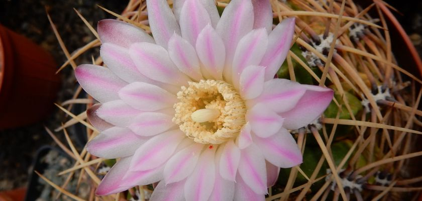 Fleurs de Cactaceae