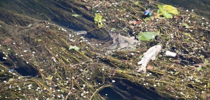 Un poisson mort, des algues et des déchets sur une rivière.