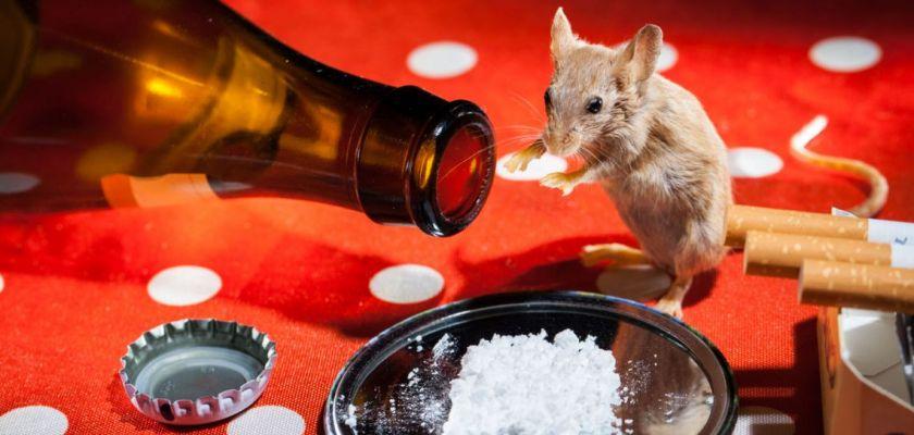 Une souris devant une bouteille de bière, des cigarettes et un miroire recouvert de poudre blanche.