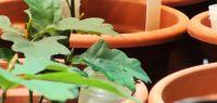 Plant de chêne en pot