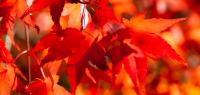 Feuilles d'érable à l'automne
