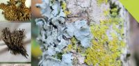 photos et noms de lichens