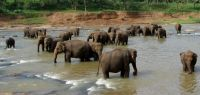 Plusieurs éléphants d'Asie dans un lac.