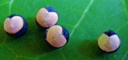 Le monde des semences
