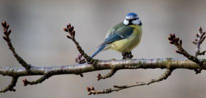Une mésange bleue sur une branche