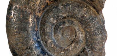 Un fossile d'ammonite imposant