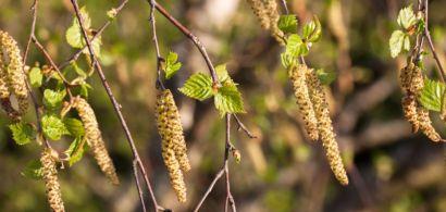 Chatons et feuilles de bouleau