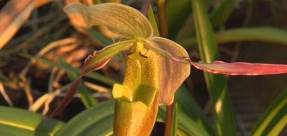 Orchidée de Guyane