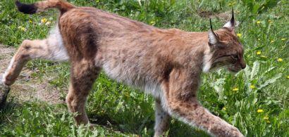 Lynx boréal d'un zoo suédois