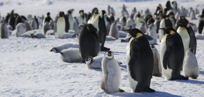 Manchots empereurs dans l'Antarctique