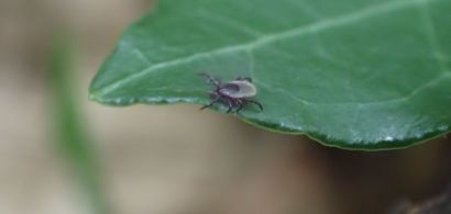 nymphe de tique ixodes ricinus sur la vegetation